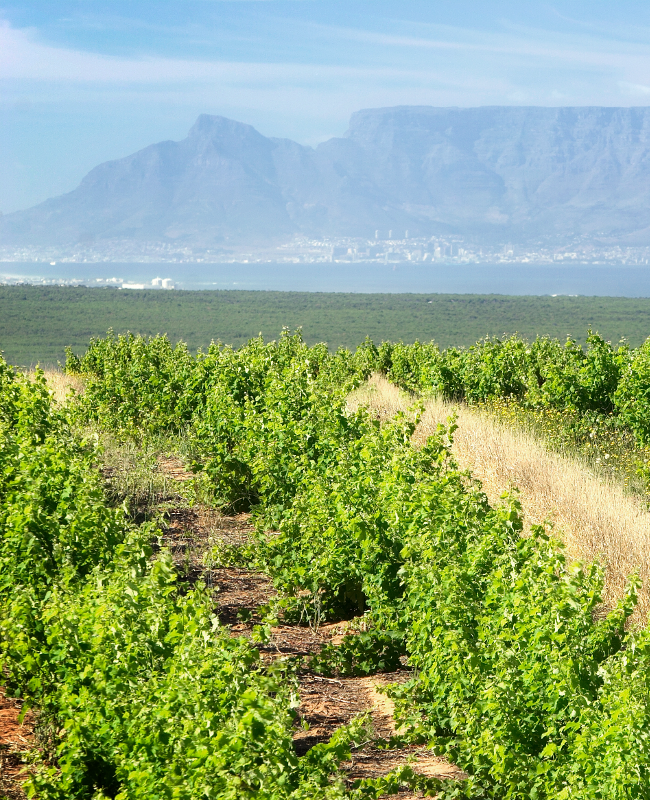 Vineyards at Darling Cellars where they grow the grapes for their prize Premium Shiraz